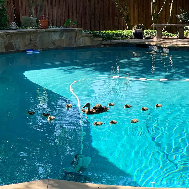 The pool with a mamma duck and her babies.
